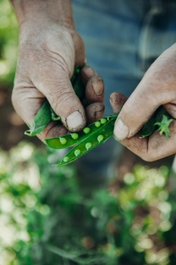 peas-cornell-agritech-research-farm-inspected